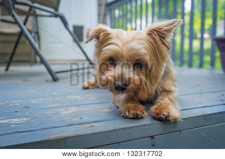 Portrait yorkshire terrier or yorkie outside on blue porch