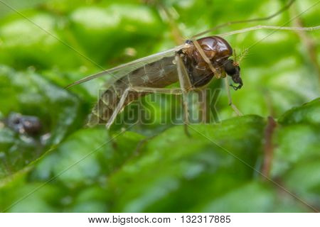 Close up macro of small sand fly gnat on green leaf