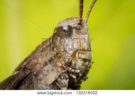 Extreme closeup macro carolina locust grasshopper insect portrait