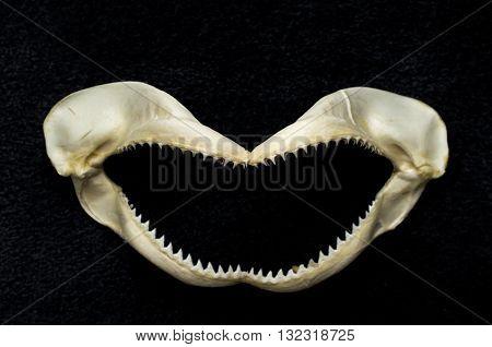 Preserved killer shark tooth jawbone decoration background