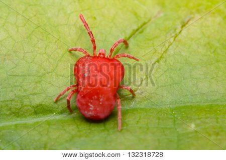 Close up macro Red velvet mite or Trombidiidae in natural environment