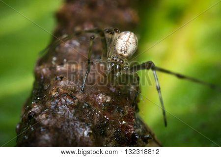 Extreme close up macro long legged sac spider on green leaf