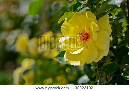 Yellow flower with blurred background and copy space area