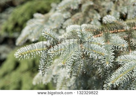 branches of blue spruce closeup in summer
