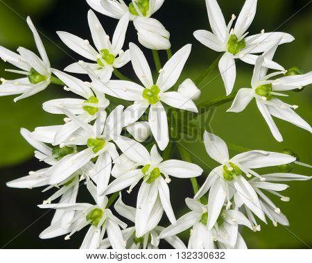 Blooming Wild Garlic Allium ursinum flowers close-up selective focus shallow DOF