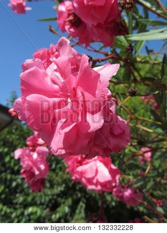Flowering Oleander ( Nerium oleander Apocynaceae ) with pink flowers against the blue sky