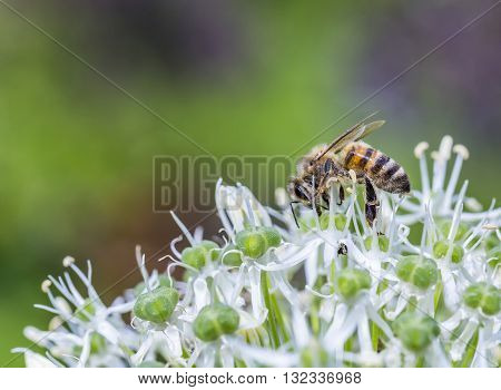 Bees On Allium Sphaerocephalon