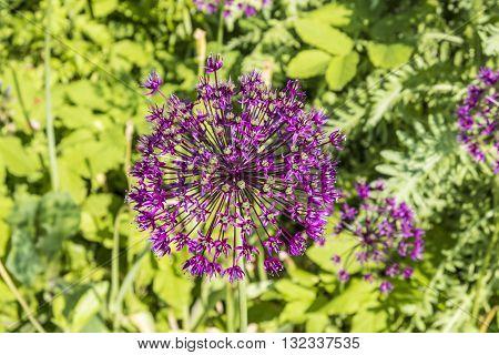 Purple Flower Of Allium Gladiator
