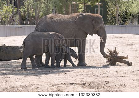 Three elephants, mother, daughter and baby elephant