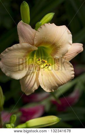 Pale Pastel Peachy Pink Hemerocallis Daylily Bloom