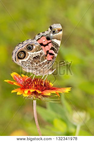 American Painted Lady butterfly feeding on a bright red and yellow Blanket Flower bloom