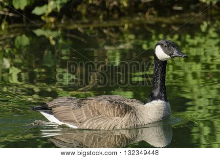A male Canada Goose, Branta Canadensis, floating majestically on a lake in York County Pennsylvania, USA.