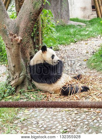 Panda Eats Bamboo At Panda Center In Chengdu, China