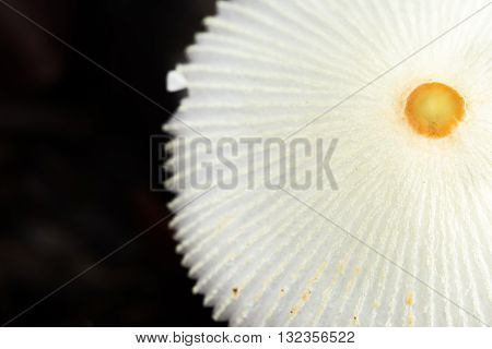 Umbrella, Mushrooms, Center, Fungi, Group, Macro, Shape, White, Wild, Wrinkles, middle, black, background, food, wild, circle, shape, round, forest, humid, Costa Rica, mountain, yellow, specie, Parasola, plicatilis, Coprinus, latin, scientific, name