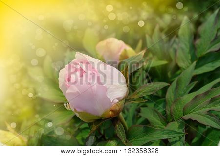 blooming peony in a sunny summer day