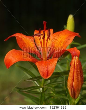 Orange lily flower after the rain (flower with water drops)