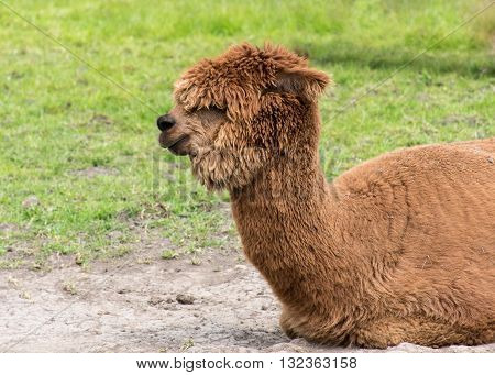 Light Brown Alpaca sitting on the ground