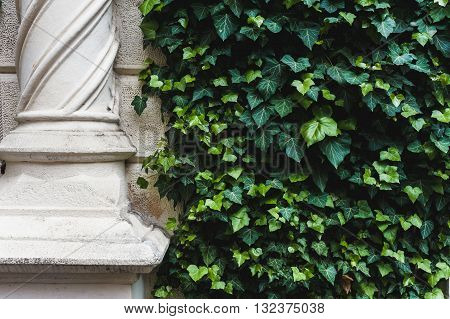 Snow white columns and ivy covered wall