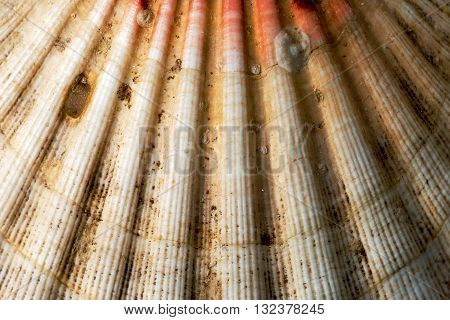 Texture of scallop seashell (Pectinidae) with encrustation and sand. Macro photography