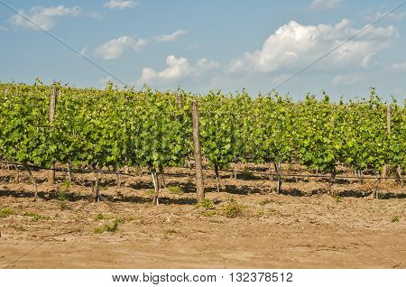 Overlooks the vineyard array in sunny summer day