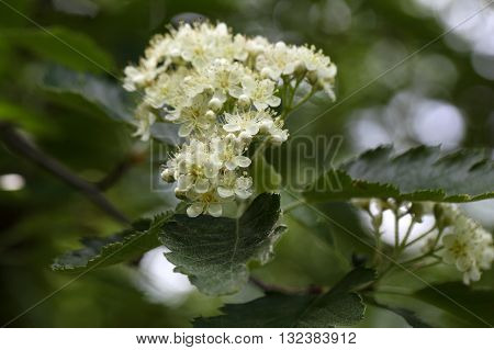 Flowers of a wild service tree (Sorbus terminalis).