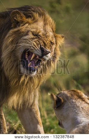 Adult male lion is roaring to other one. An adult male lion is roaring to the other lion. He has a mane with gold brown color. His face and canines teeths can seen clearly. He's angry and powerful.
