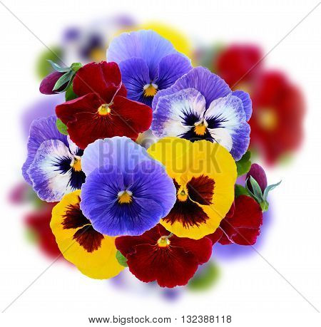 Viola flowers colorful decoration on white background