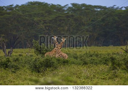 Two giraffes are standing like a cross. Two giraffes are standing behind the shrubbery. They are looking to the camera. Their faces ears horns and neck can seen clearly. They have irregular jagged star-like blotches. The focus is on them.