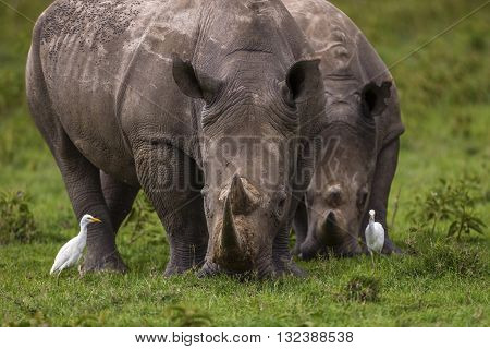 Two rhinos are feeding with herb. Two rhinos are feeding with herb. They are sumatran rhinos and they have two horns. One of them is in front of the other. The focus is on it. The other one has blur effect. Two white birds are standing with them.