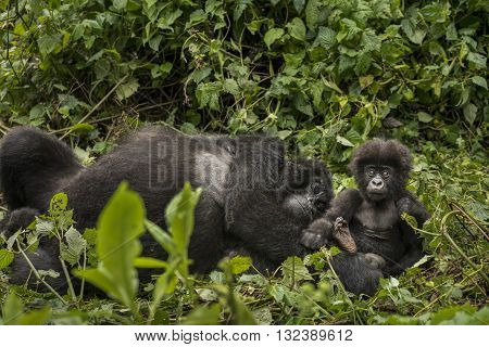 Female mountain gorilla with her cute baby. Mother mountain gorilla lying on the ground. They are in the middle of leaves. Infant gorilla is sitting. They are looking towards camera. The baby gorilla looking like bewildered. His eyes wide open. The mother