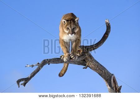 Mountain lion is standing on deadwood and looking camera angrily. Mountain lion is standing on deadwood and looking towards the camera angrily. He has green eyes. The mountain lion in the middle of the frame.