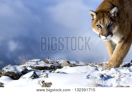 Mountain Lion is looking towards the camera directly. The mountain is standing on the snow with catwalk style. It has green eyes. The mountain lion at the corner of the photo. His head shoulders and foreleg can be seen clearly.