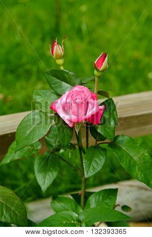 A beautiful pink rose on a on a cool June morning