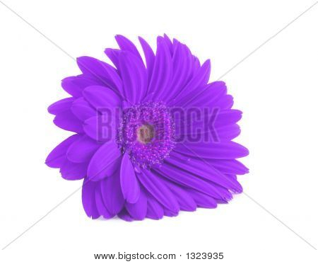 Purple Gerbera Isolated On White