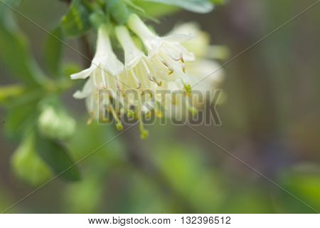 Garden honeysuckle blooms. Flowers are small, white and they look like bells.
