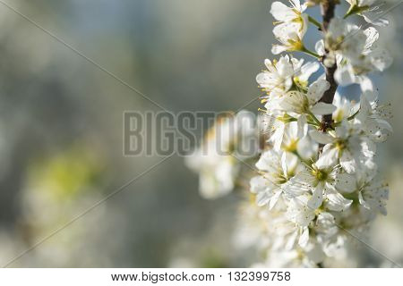 Blackthorn or Prunus Spinosa blossoms in spring