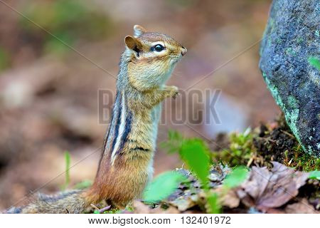 Chipmunks are small, striped rodents of the family squirrel. Chipmunks are found in North America, with the exception of the Siberian chipmunk which is found primarily in Asia.