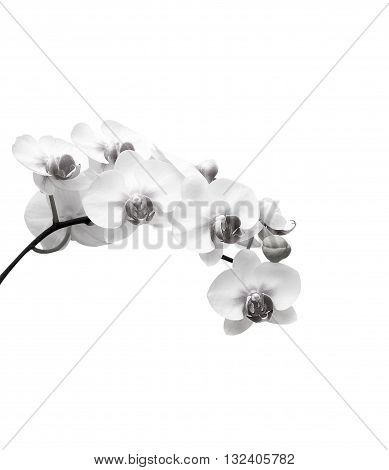 White orchid flower isolate on white background