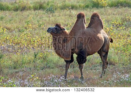 Beautiful  bactrian camel or Camelus bactrianus is grazing in steppe