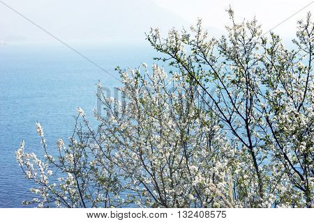 Flowering plum tree against the blue sea