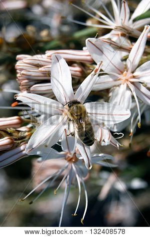 Bee inside a white open flower Asphodel