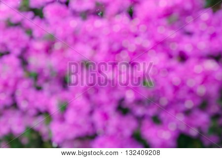 pink bokeh from bougainvillea tree, abstract, background
