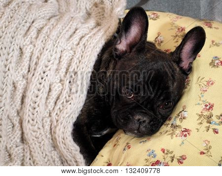Dog lying on the bed, on the pillow under a knitted white blanket. Cute, cute dog