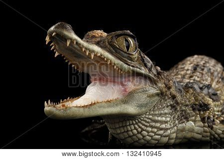 Closeup Young Cayman Crocodile Reptile with opened mouth Isolated on Black Background