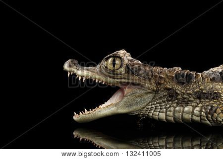 Closeup Young Cayman Crocodile Reptile with opened mouth Isolated on Black Background in Profile view