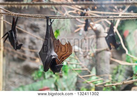 Malayan Bat (pteropus Vampyrus) Hanging On A Rope