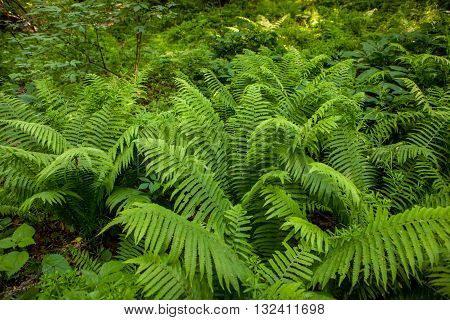 overgrown green forest fern, the green fern and the trees in the forest