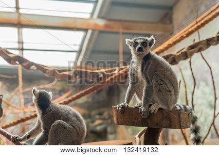 The Ring Tailed Lemur (lemur Catta) Eating