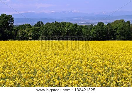 Yellow rapeseed or canola field with forest and mountains as background