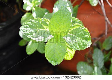 kitchen mint in flowerpot on the garden